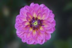 Zbliżenie żywy różowy dalia kwiat Obraz Royalty Free
