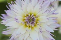 Zbliżenie żywy różowy dalia kwiat Zdjęcia Stock