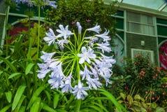 Zbliżenie Afrykańskiego Lily/Agapanthus/leluja Nile/agapantu Headbourne Hybrids/Agapanthaceae Obraz Royalty Free