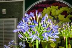Zbliżenie Afrykańskiego Lily/Agapanthus/leluja Nile/agapantu Headbourne Hybrids/Agapanthaceae Obrazy Stock