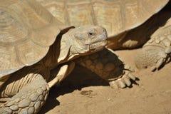Zbliżenie afrykanin pobudzał tortoise Centrochelys sulcata Fotografia Stock