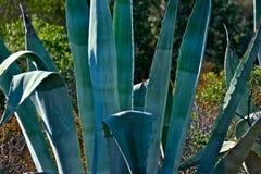Zbliżenie agaw rośliny jako tło Zdjęcie Royalty Free
