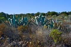 Zbliżenie agaw rośliny między wysuszonymi krzakami Zdjęcie Royalty Free
