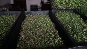 Zbliżenie alfalfa lucerna microgreen opiekę zbiory wideo