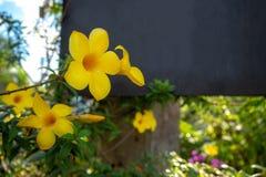 Zbliżenie allamanda kwitnie na zamazanym tle fotografia royalty free