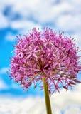 Zbliżenie Allium gladiatora menchii kwiat fotografia stock