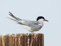 Zbliżenie Arktyczny Tern Umieszczający na filarze Zdjęcia Stock