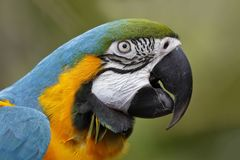 Zbliżenie błękitna i złocista ara Obrazy Royalty Free