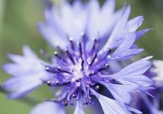 zbliżenie błękitny kwiat Fotografia Royalty Free