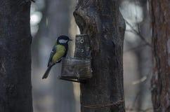 Zbliżenie Błękitny tit, Tit lub Parus caeruleus, stojak na suchym drzewnym fiszorku z metalu stojakiem Zdjęcia Stock