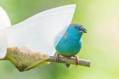 Zbliżenie błękitny waxbill na dozowniku Zdjęcia Stock
