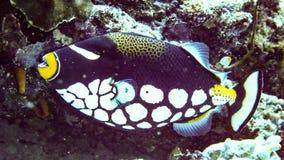 Zbliżenie błazenu cyngla ryby Balistoides conspisillum, Maldives fotografia royalty free