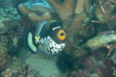 Zbliżenie błazenu triggerfish lub bigspotted triggerfish pływa nad rafą koralowa Bali, Balistoides conspicillum obrazy royalty free