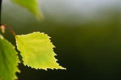 Zbliżenie backlit brzozy drzewa liść Zdjęcia Stock