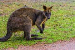 Zbliżenie bagna wallaby, portret kangur od Australia zdjęcia stock