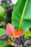 Zbliżenie bananowy kwiat obrazy stock