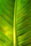 zbliżenie bananowy liść Zdjęcie Royalty Free