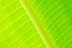 zbliżenie bananowy liść Obrazy Stock