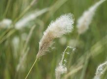 Zbliżenie bawełnianej trawy ziarna głowa Obrazy Stock