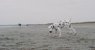 Zbliżenie bawić się śmiesznego dalmatian psa na plaży z małą piłką przed kamery ślicznym dalmatian z piłką, zdjęcie wideo