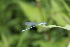 Zbliżenie Beatutiful Błękitny Dragonfly na liściu Obraz Stock