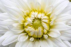 Zbliżenie biała chryzantema w ogrodzeniu Obraz Stock
