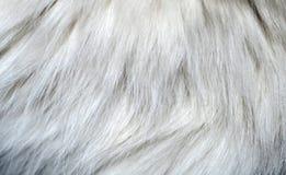 Zbliżenie biała kota ` s futerka tekstura Zdjęcia Royalty Free