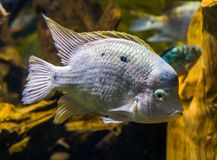 Zbli?enie bia?y cichlid, tropikalna ryba od atlantyckiego sk?onu America obraz royalty free