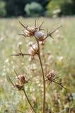 Zbliżenie biały dojnego osetu kwiat Obraz Stock