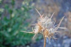 Zbliżenie biały dojnego osetu kwiat Zdjęcie Stock