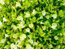 Zbliżenie Biały i Żółty Bluewings/Wishbone Flower/Torenia Fournieri Lind ex Fourn / Scrophulariaceae tło Obraz Royalty Free