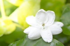 Zbliżenie Biały Jaśminowy kwiat Fotografia Stock
