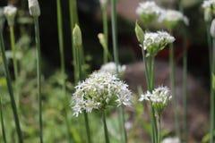 Zbliżenie biali kwiaty czosnków szczypiorków Allium tuberosum Lecznicze rośliny, ziele w organicznie ogródzie Zdjęcie Stock