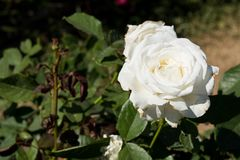 Zbliżenie bielu róża na drzewie, Czyści miłość pojęcia, Najpierw kocha pojęcia, Makro- wizerunki Obrazy Royalty Free