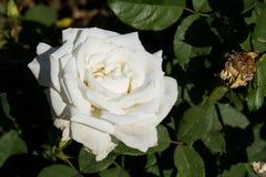 Zbliżenie bielu róża na drzewie, Czyści miłość pojęcia, Najpierw kocha pojęcia, Makro- wizerunki Zdjęcie Royalty Free