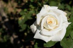 Zbliżenie bielu róża na drzewie, Czyści miłość pojęcia, Najpierw kocha pojęcia, Makro- wizerunki Zdjęcie Stock