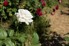 Zbliżenie bielu róża na drzewie, Czyści miłość pojęcia, Najpierw kocha pojęcia, Makro- wizerunki Obrazy Stock