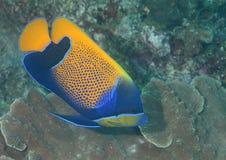 Zbliżenie blueface angelfish pływa nad koralami Bali Obrazy Stock