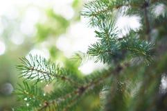 Zbliżenie Bożenarodzeniowy sosnowy jedlinowy gałąź tło Zdjęcia Royalty Free