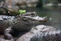 Zbliżenie boczny widok Yangtze aligator obrazy royalty free