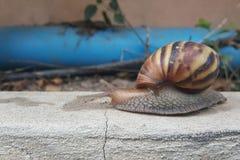 Zbliżenie brown ślimaczek poruszający naprzód wolno Fotografia Royalty Free