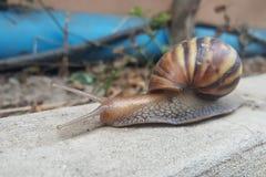 Zbliżenie brown ślimaczek poruszający naprzód wolno Zdjęcie Royalty Free