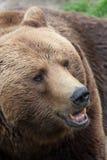 Zbliżenie brown niedźwiedź Obraz Royalty Free