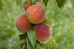 Zbliżenie brzoskwini drzewo Prunus persica z dojrzały owocowy celowym jako tło lub Zdjęcia Royalty Free