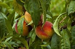 Zbliżenie brzoskwini drzewo Prunus persica z dojrzały owocowy celowym jako tło lub Obrazy Royalty Free
