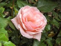Zbliżenie brzoskwinia Wzrastał Wśród Zielonych liści Fotografia Stock