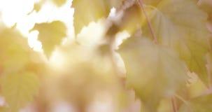 Zbliżenie brzoza liście przed światłem słonecznym zbiory wideo