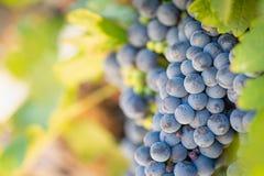 Zbliżenie bujny, Dojrzali win winogrona na winogradzie Przygotowywającym dla żniwa fotografia stock