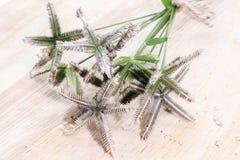 Zbliżenie bukieta Crowfoot trawa, plaża egipcjanin lub wiregrass lub Obrazy Stock
