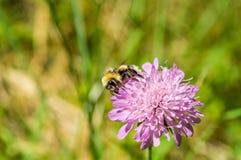 Zbliżenie bumblebee na różowym kwiacie Zdjęcie Stock